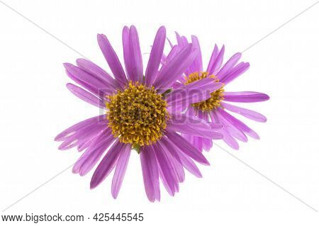 Lilac Aster Flower Isolated On White Background
