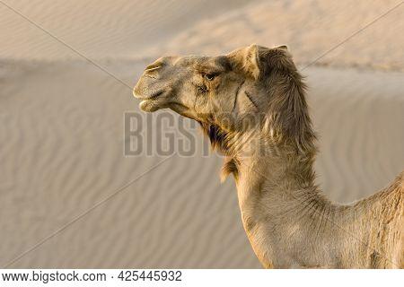 Image Of Camel. Big Desert Animal Camel.