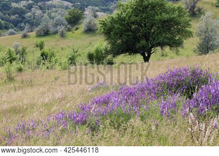Spring Or Summer Landscape With Tree And Wild Mouse Pea Purple Flowers On The Hills. Vicia Tenuifoli