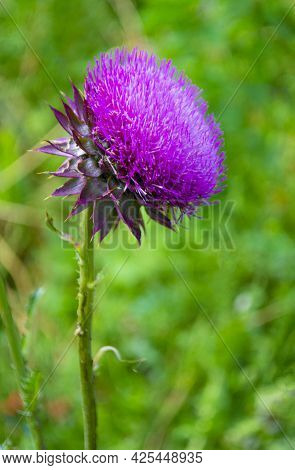 Milk Thistle Flowers.blessed Milk Thistle Flowers, Close. Silybum Marianum Herbal Remedy