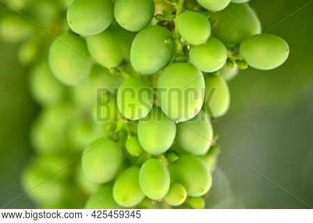 Extreme Close-up. Green Unripe Young Grapes In The Garden On The Natural Background, Selective Focus