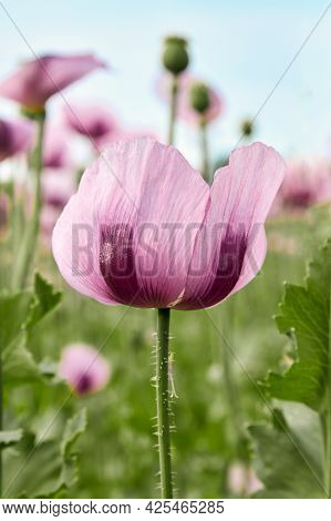 Close-up Of Blooming Purple Poppies On A Field. A Beautiful Photo For A Postcard. Summer Landscape