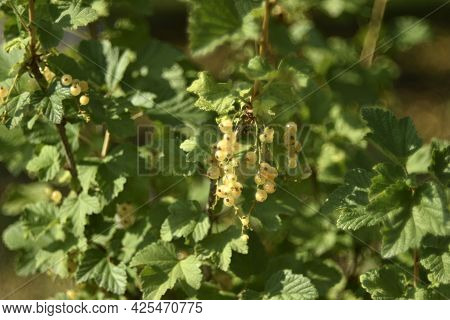 Yellow Currant Berries On A Green Bush