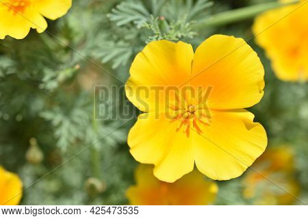 Escholtia Californica Red And Yellow Large Flowers Macro