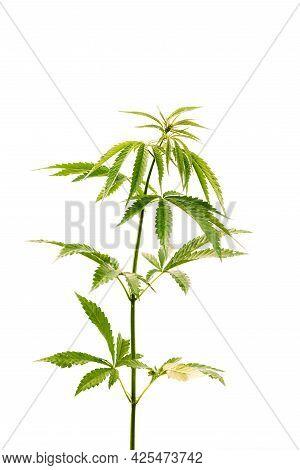 Legal Green Marijuana Cannabis Sprout At White Background. Isolate Cannabis On White Background. Bea