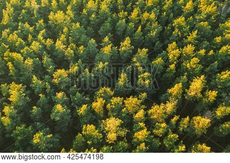 Aerial View Of Green Pine Coniferous Forest In Landscape During Sunset In Spring. Top View From Atti