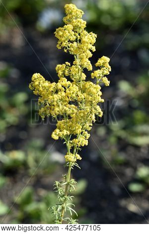 Bedstraw Flowers Are A Genus Of Annual, Biennial And Perennial Herbaceous Plants Of The Madder Famil