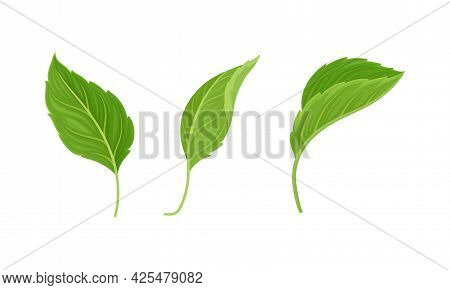 Green Alternate Fibrous Leaf Of Hibiscus Flower With Toothed Margin Vector Set