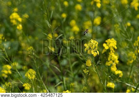 The Honey Bee Flies Over The Yellow Flower. Beautiful Nature Summer Background. Bee Collects Nectar,
