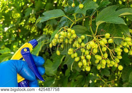 Treatment Of Viburnum Tree Branches In Summer With A Fungicide Against Pests Or Bacterial Diseases.