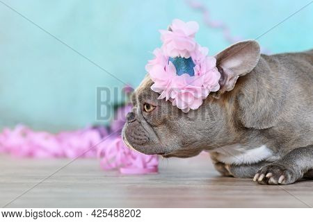 Birthday Party Dog. Side View Of Lilac French Bulldog With Part Hat Lying Down In Front Of Blue Back