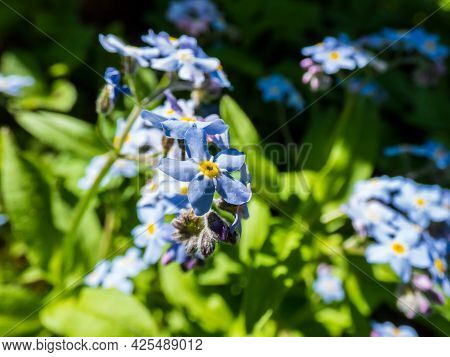 Macro And Detailed Sky-blue And Purple Spring-flowering Plant - The Wood Forget-me-not Flowers (myos