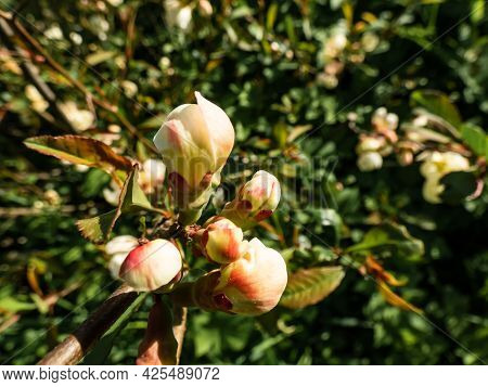 Closeup Macro Shot Of Closed And Just Appearing Orange And Pink Quince (cydonia) Flower Buds On Bran