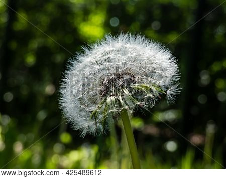Single Dandelion. Beautiful Macro Shot Of White Seeded Dandelion Plant Head Composed Of Pappus (dand