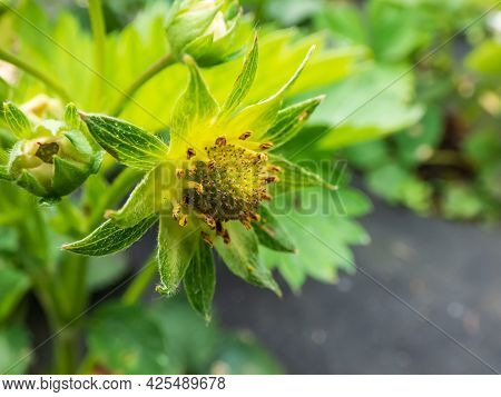Macro Of Strawberry Plant Flower Stamens Without White Petals Starting To Form A Small Green Fruit W