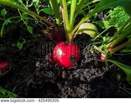 Closeup Of Big, Ripe, Red-pink Radish Plant (raphanus Raphanistrum Subsp. Sativus) Root - Edible Roo