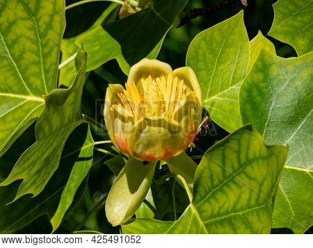 Flowering Tulip Tree (liriodendron Tulipifera). Macro Shot Of Pale Green And Yellow Flower With An O