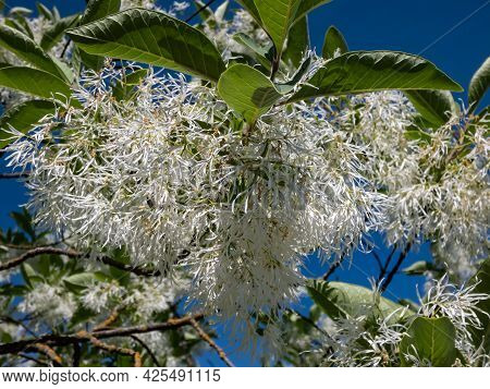 Small Tree The White Fringetree (chionanthus Virginicus) With Richly-scented, Pure White Flowers In