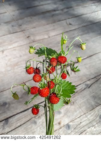 Bouquet Of Wild Strawberry (fragaria Vesca) Plants With Red Ripe Fruits And Foliage Outdoors With Wo