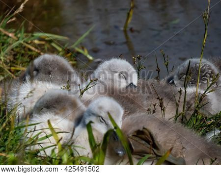 A Beautiful, Fluffy Mute Swan Cygnets (cygnus Olor) Sleeping Together Near The Pond In Green Grass O