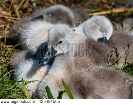 Close Up Of A Beautiful, Fluffy Mute Swan Cygnet (cygnus Olor) With Sleepy Eyes Among Others Chicks