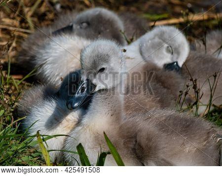 A Beautiful, Fluffy Mute Swan Cygnets (cygnus Olor) Sleeping Together Near The Pond. Beautiful Natur