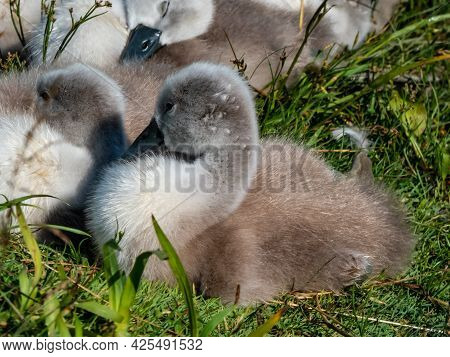 Group Of Beautiful, Fluffy Mute Swan Cygnets (cygnus Olor) Sleeping Together Near The Pond In Green