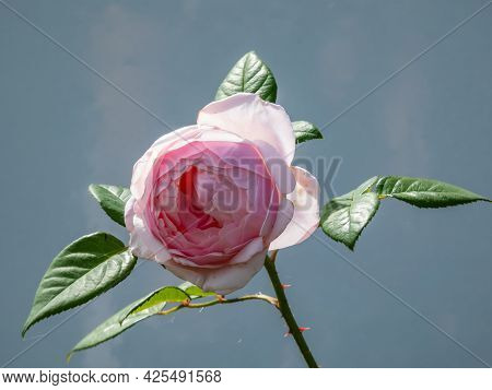 Beautiful, Delicate Seashell-pink Rose With White Undertones 'st. Cecilia' With Full Petals. One Of