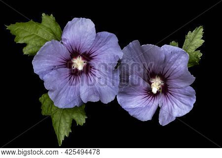 Purple Hibiscus Flower With Leaves Isolated On Black Background. Hibiscus Is A Genus Of Flowering Pl