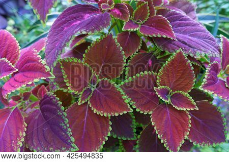 Plectranthus Scutellarioides, Coleus Or Miyana Or Miana Leaves Or Coleus Scutellaricides, Is A Speci