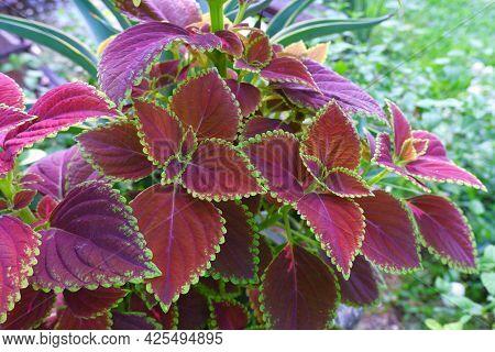 Plectranthus Scutellarioides, Coleus , Miyana, Or Miana ,leaves, Coleus, Scutellaricides, Species, F