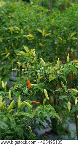 Red Chilies And Green Chilies Growing On Trees On Farm, Focus Selected