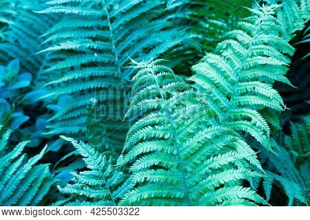 Natural Fern Leaf. Background From Leaves Of Tropical Forest Plant Fern. Blue-green Leaves. Medicina