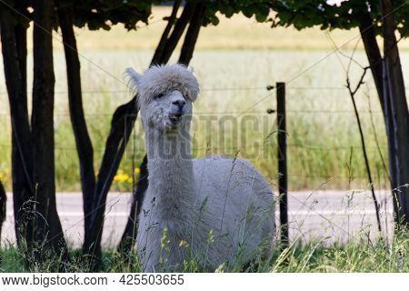 White Fluffy Alpaca Stands In The Shade In The High Grass And Shows His Teeth, Without People During