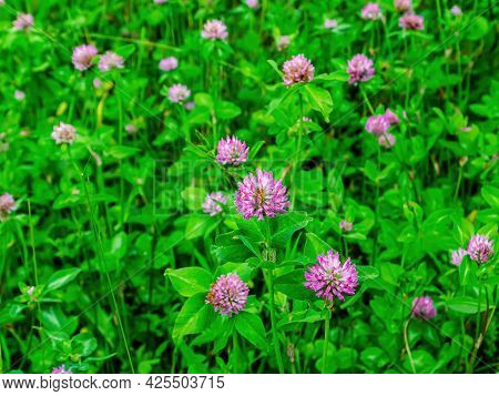 Clover Blooming With Pink Flowers With Green Leaves. Pink Flowers. Blooming Clover. Green Leaves. Na
