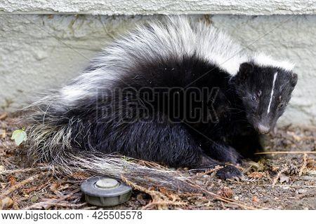 Juvenile Striped Skunk Close-up. Santa Clara County, California, Usa.