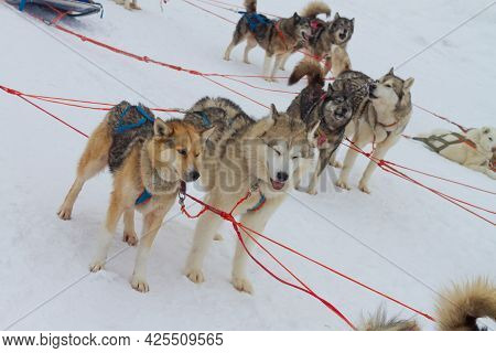 Sled Dogs Huskies Are Harnessed To A Sleigh In Winter For A Trip Through The Snow.