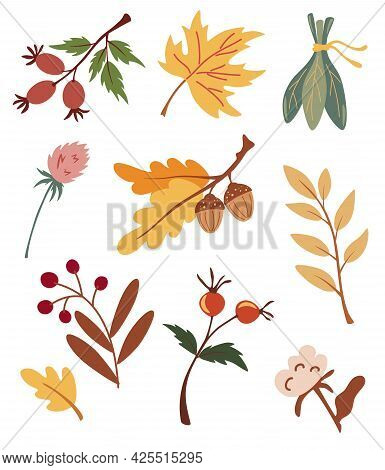 Set Of Autumn Dried Leaves, Berries And Flowers. Collection Of Various Acorns, Maple, Rosehip, Cotto