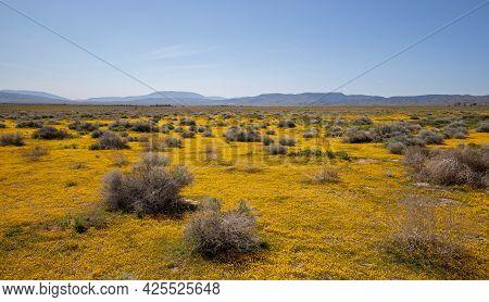 Yellow Sage And Tumbleweeds Carpeting High Desert During Superbloom In Southern California Usa