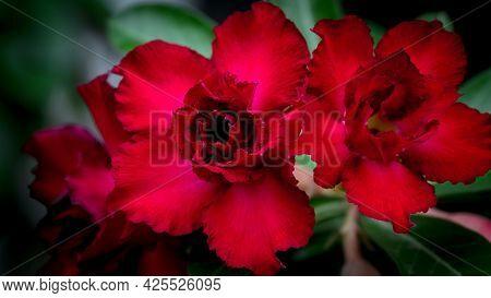 Impala Lily, Pink Bignonia, Mock Azalea, Desert Rose, Adenium Obesum (fosk.) Roem. & Schult.the Flow