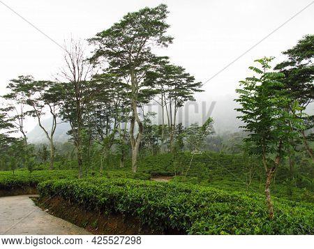 Nuwara Eliya, Sri Lanka - 08 Jan 2011: The Tea Plantation, Nuwara Eliya, Sri Lanka