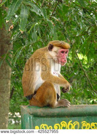 Yala, Sri Lanka - 09 Jan 2011: The Monkey On The Safari In Yala National Park, Sri Lanka