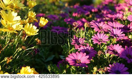 Daisy Or Marguerite Colorful Flowers, California Usa. Aster Or Cape Marigold Multicolor Purple Viole