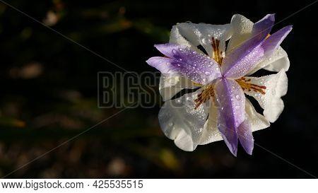 White Iris Flower Blossom, Gardening In California, Usa. Delicate Bloom In Spring Morning Garden, Dr