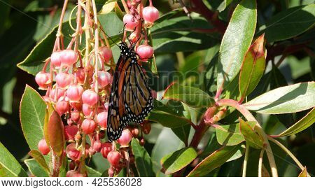 Monarch Butterfly Pollinate Arbutus Flower, California Usa. Pink Madrone Blossom, Romantic Botanical