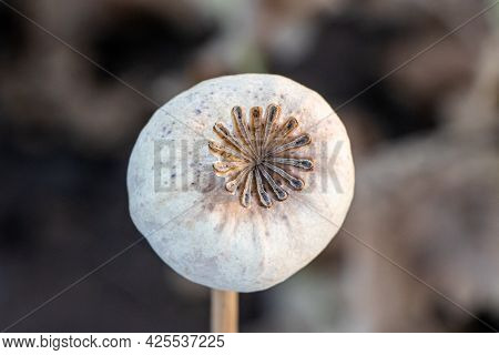 Dried Poppy Head. Opium Drugs Plant Head. Commonly Known As The Opium Poppy. Agricultural Field In S