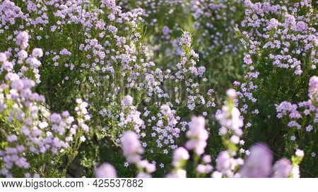Confetti Bush Lilac Flower, California Usa. Coleonema Pulchellum, Buchu Diosma Springtime Bloom. Hom