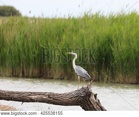 Big Heron Near The Water Of The Pond In Summer