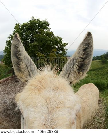 Detail Of The Two Large Donkey Ears Above The Mammal S Head