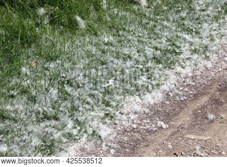 White Pollen That Look Like Cotton Balls Fallen From Trees Called Poplars That Can Cause Severe Alle